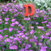 Dianthus in Alphabet Garden