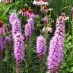 Liatris and Purple Coneflowers