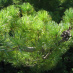 Japanese White Pine