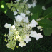 Tardiva Panicled Hydrangea