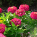 Zinnias