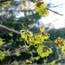 Vernal Witch-Hazel