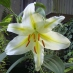 Grow Great Lilies in the Rockford Area